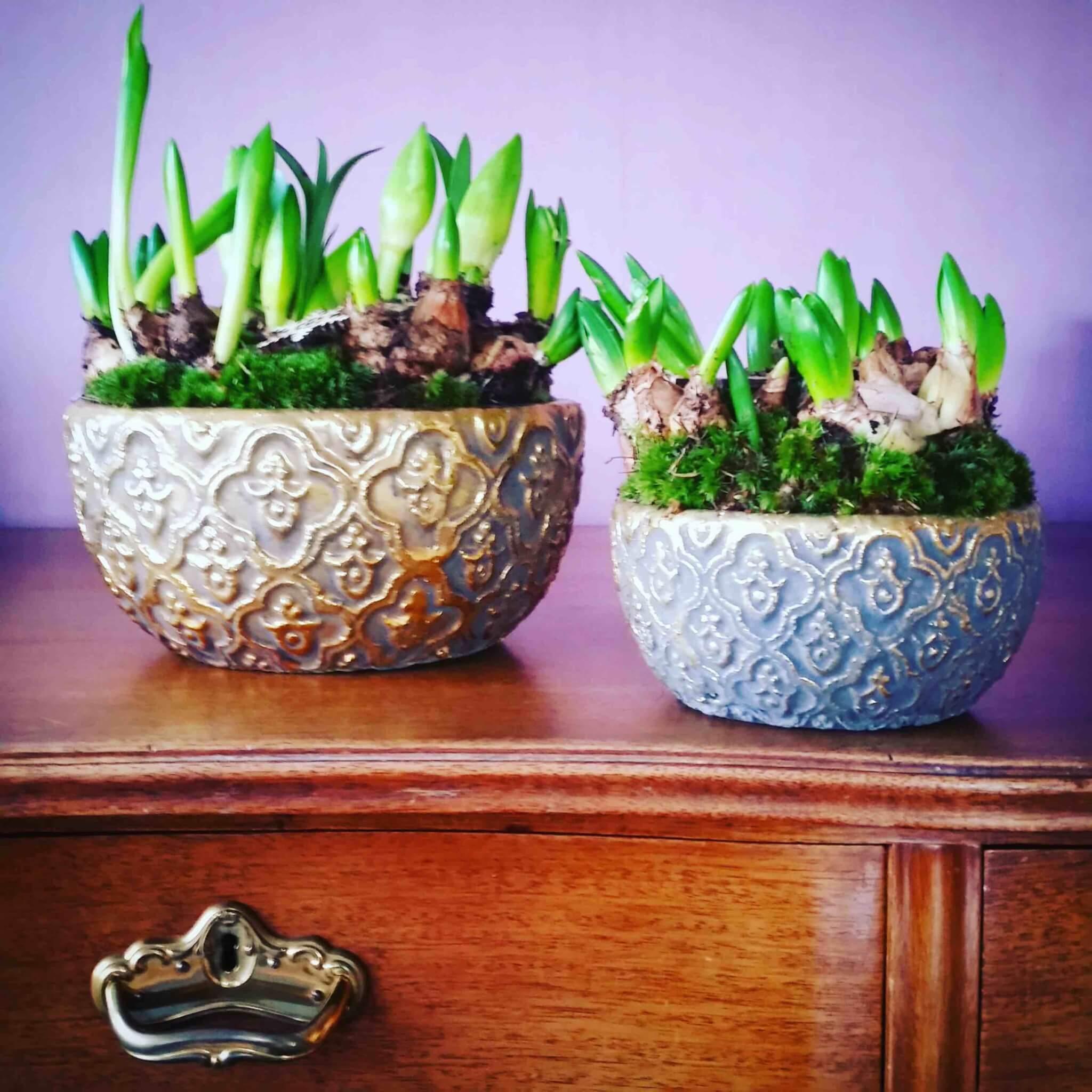 Hyacinter multiflora i julklapp - fina julblommor